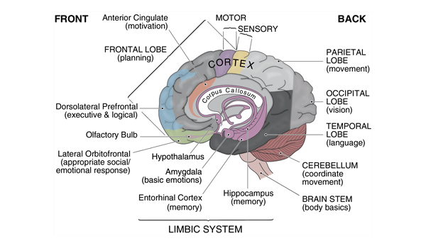 roles of the hippocampus posterior and anterior areas in a primates brains